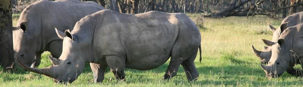 Rhinos, Nakuru Park, Kenya