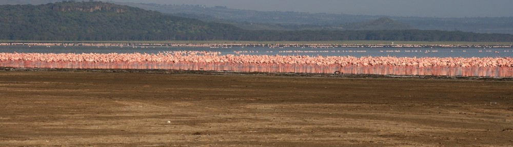 Flamingoes, Nakuru park, Kenya